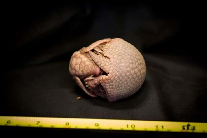 Baby armadillo comes out of its shell at Edinburgh Zoo