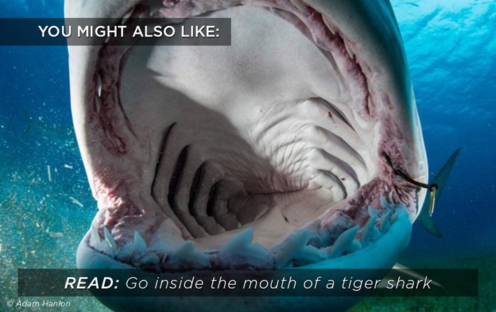 Tiger Shark Mouth Related 2016 05 09