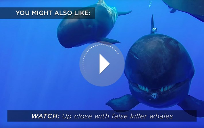 Up Close With False Killer Whales Related 2016 05 10