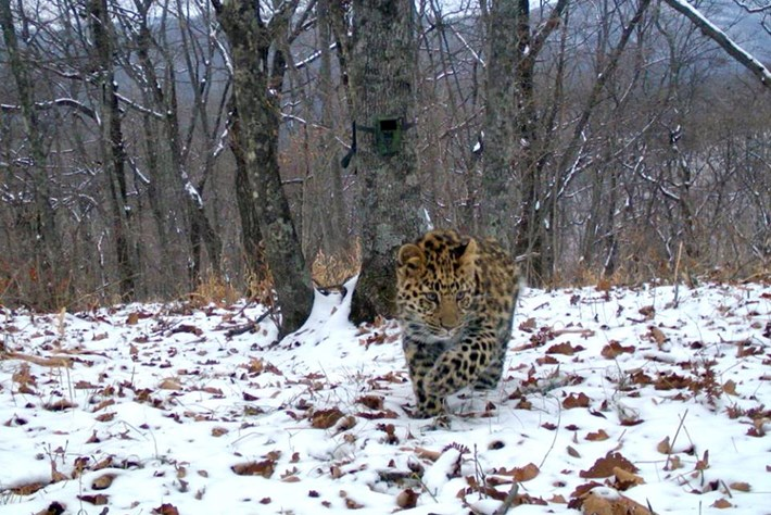 Good news: 16 new cubs born in the last stronghold of the Amur leopard (PHOTOS)
