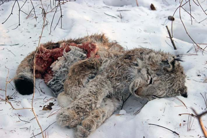 Lynx -killed -by -tiger