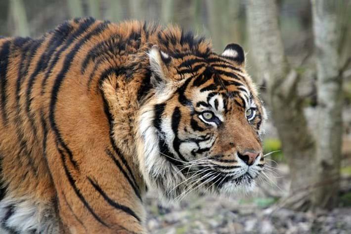 Tiger_thumb_2016_05_23
