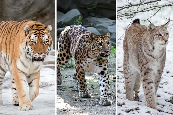 Lynx Leopard Tiger 2016 05 23