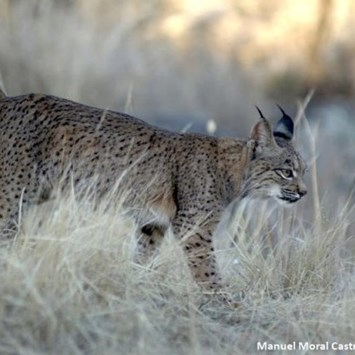 Iberian Lynx 2016 05 27