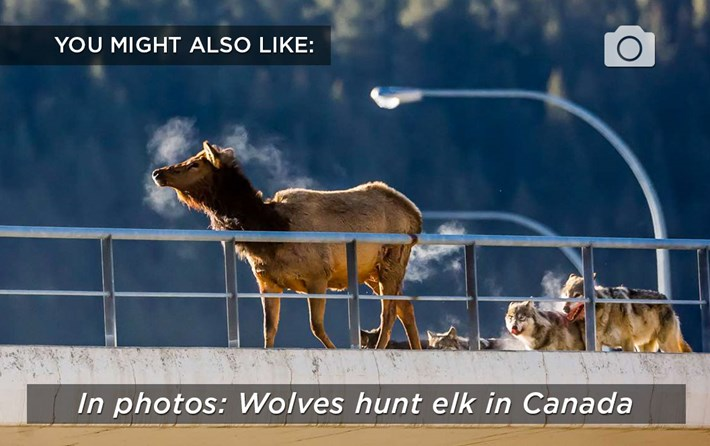 wolves hunt-related-2016-5-27