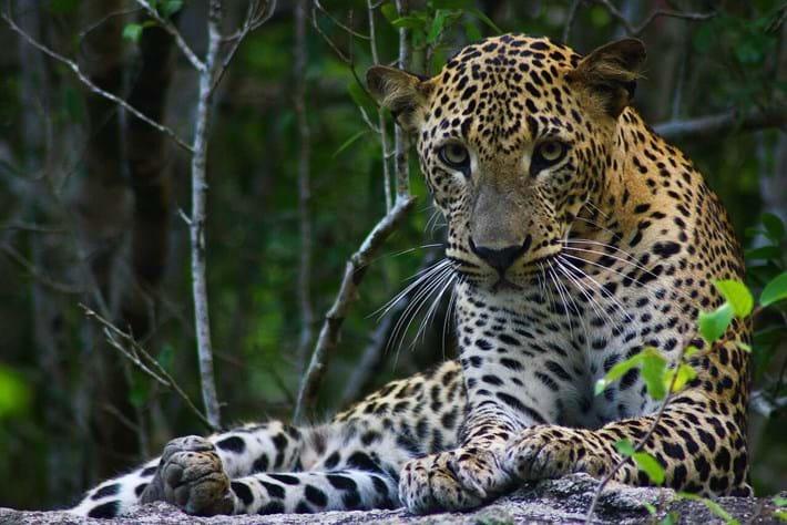 Sri Lanka Leopard1 2016 05 31