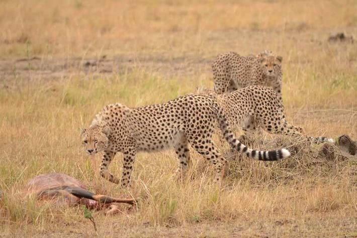 Cheetah Hyena3 2016 06 01