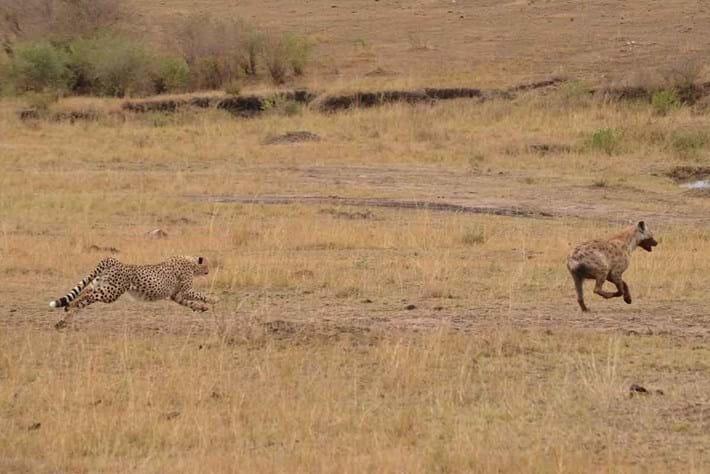 Cheetah Hyena2 2016 06 01
