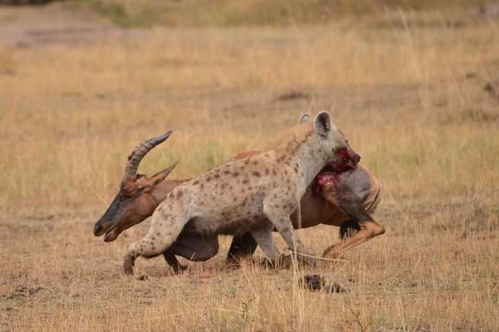Cheetah Hyena 2016 06 01