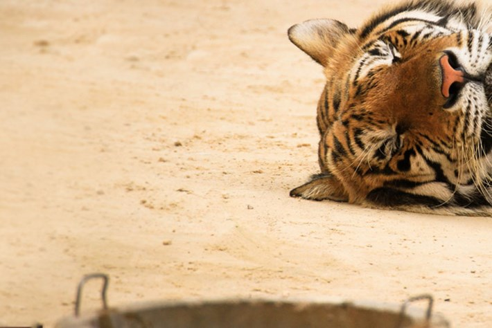 Tiger -header _2016_06_06
