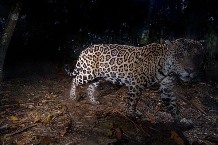 jaguar-1-2016-6-6