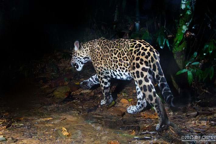 jaguar-4-2016-6-6