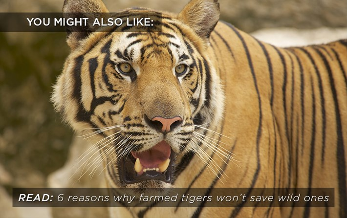 Farmed Tigers Related 2016 06 07