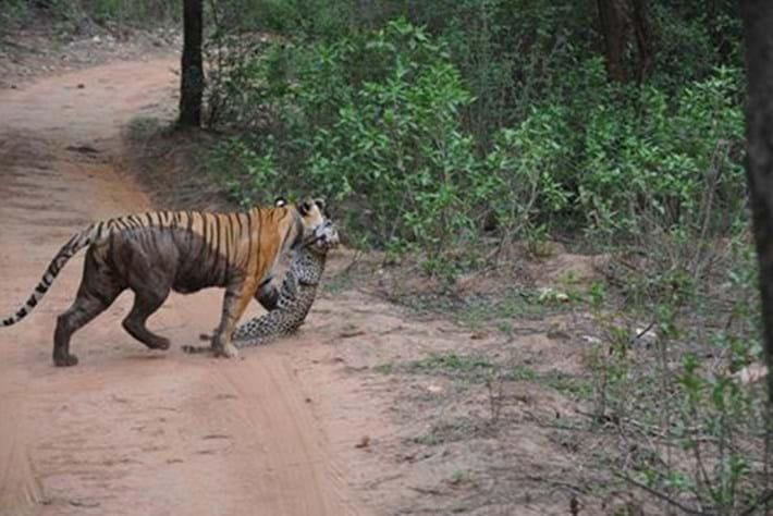 Tiger Kills Leopard Thumb _2016_06_14