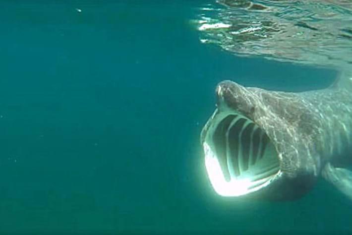 Basking -shark -thumb _2016_06_15