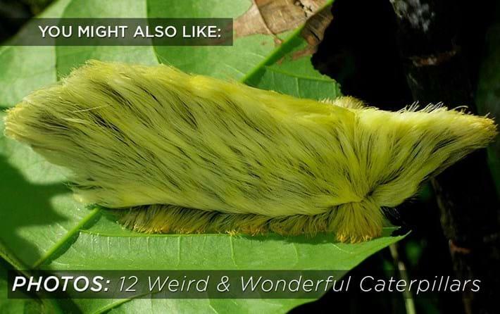 Weird Caterpillars Related Content 2016 06 16