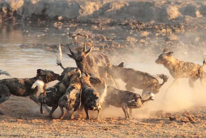 Wild Dogs Wildebeest 3 2016 06 23