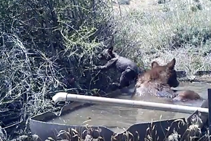 WATCH: Baby bear tries to go for a swim, face-plants the foliage instead