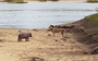 In the midst of a drought, baby hippo takes on a lion (VIDEO)