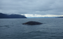 First spotted in 1972, 'Festus' the whale washes up dead in Alaska