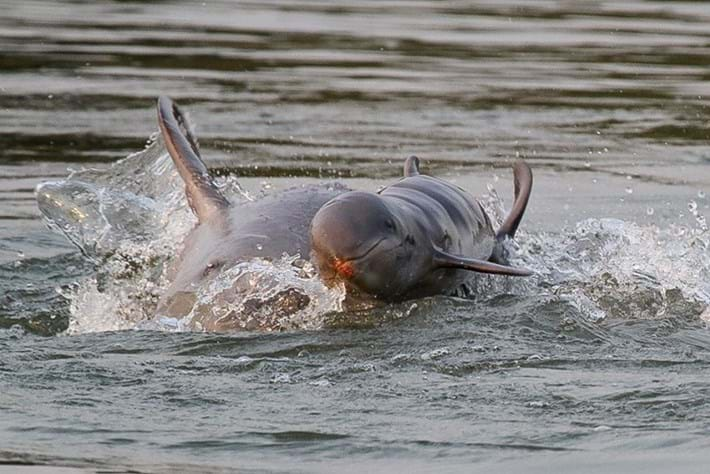 One of the world's rarest dolphins born in the wild in Cambodia (PHOTOS)