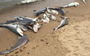 Dozens of baby sharks found dead on Alabama beach