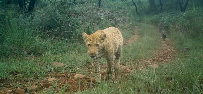 leopard-long-2016-7-16