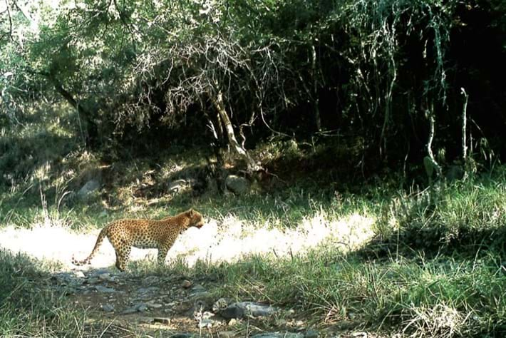 leopard-1-2016-7-16