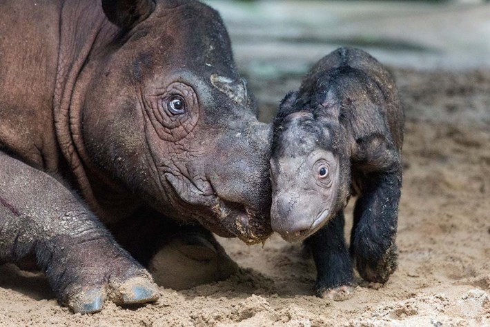 Sumatran Rhino 2 2016 07 13