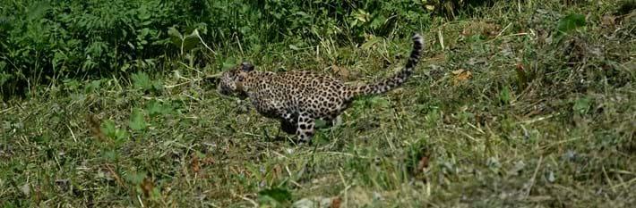 Leopard -release _2016_07_19
