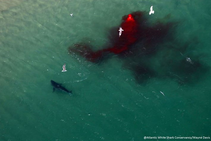 Great White Shark Meal2 2016 07 20