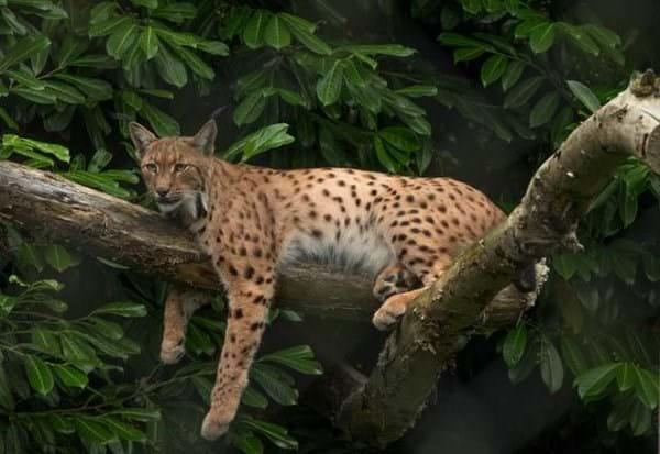 Klementyna Lynx 2016 07 22