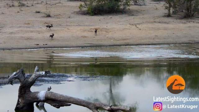 Wild Dogs Impala 1 2016 07 26