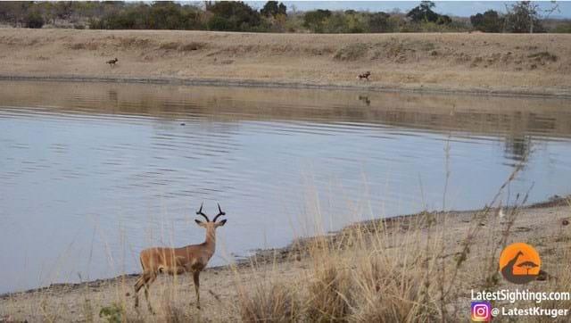 Wild Dogs Impala 2 2016 07 26