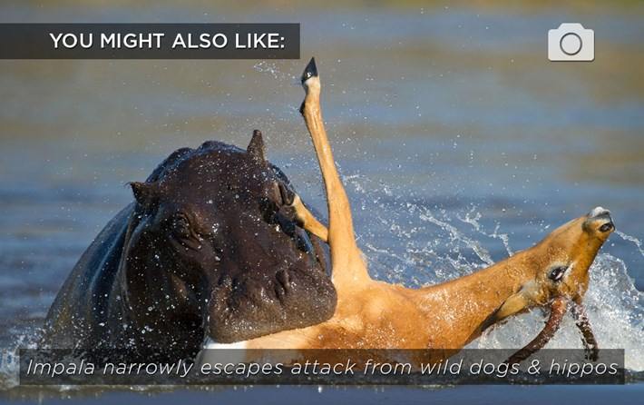 Hippo Biting Impala Related Content 2016 07 27