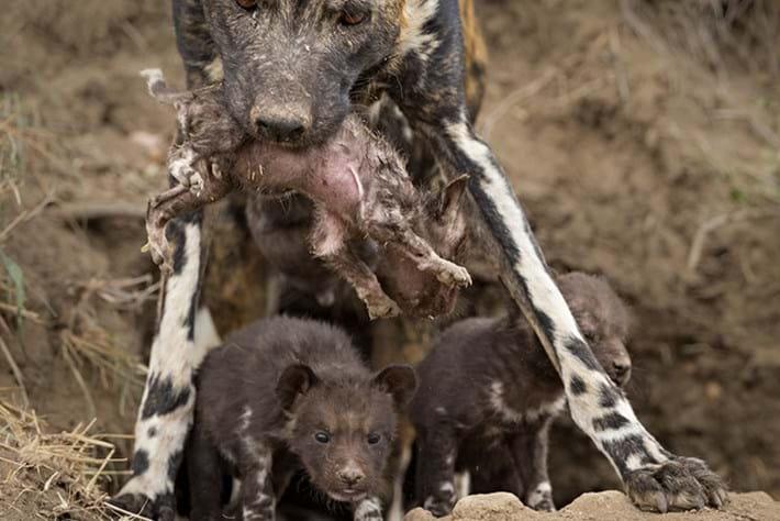 wild dogs-5-2016-8-3