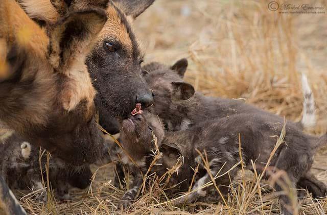 wild dogs-6-2016-8-3