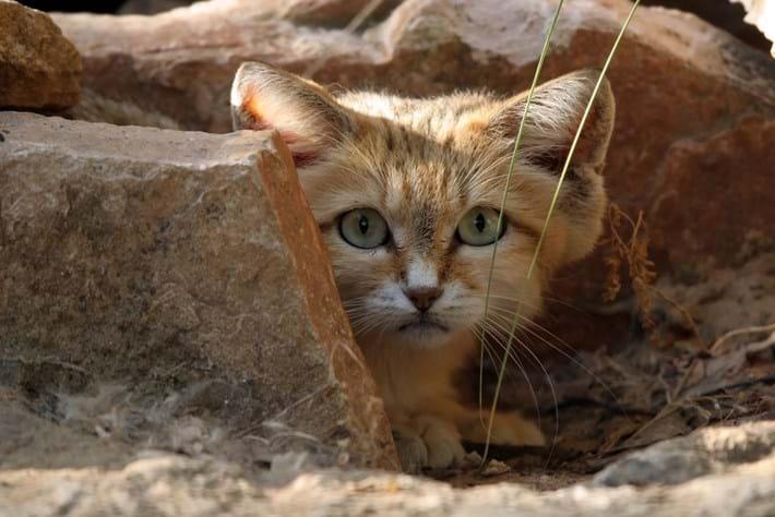 Sand cat kitten 2013-08-12