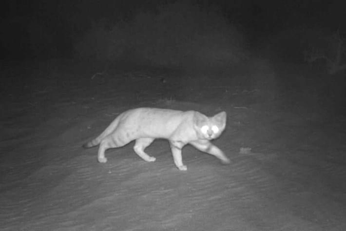 Sand cat photo environment -agency abu dhabi 2016-08-12