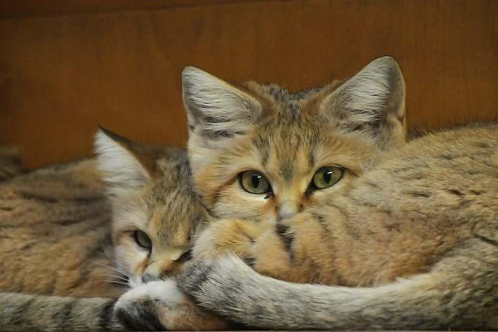 Sand cat kittens 2013-08-12