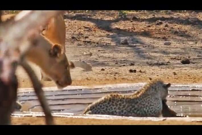 Leopard _lion _thief _2016_08_18
