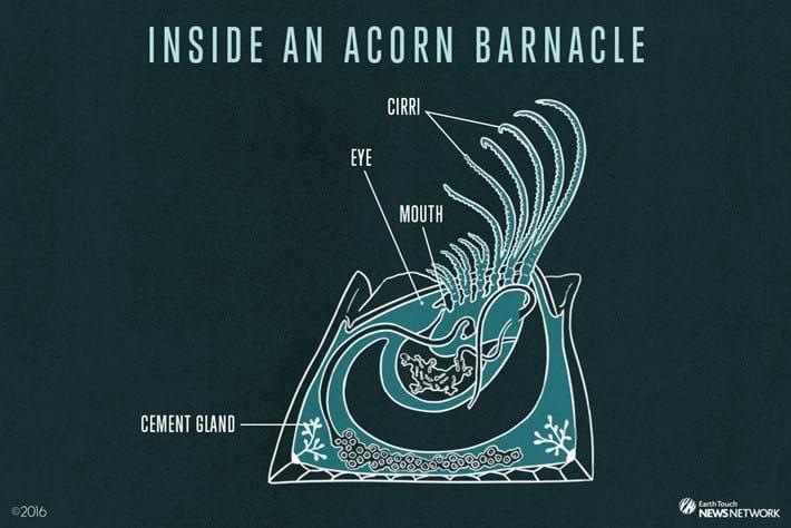 Acorn Barnacle Diagram 2016 8 24