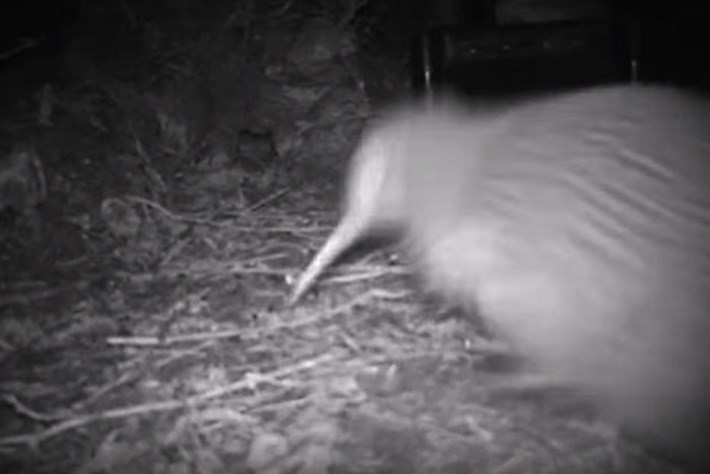 Young kiwi goes adorably berserk on a feeder cam