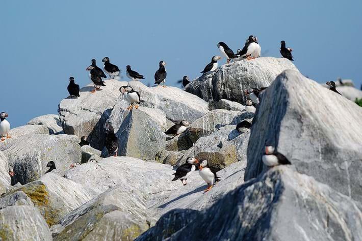 Machias Seal Island Puffins 2016 08 26