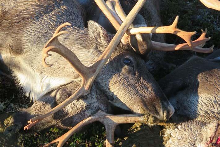 Reindeer2 2016 08 29