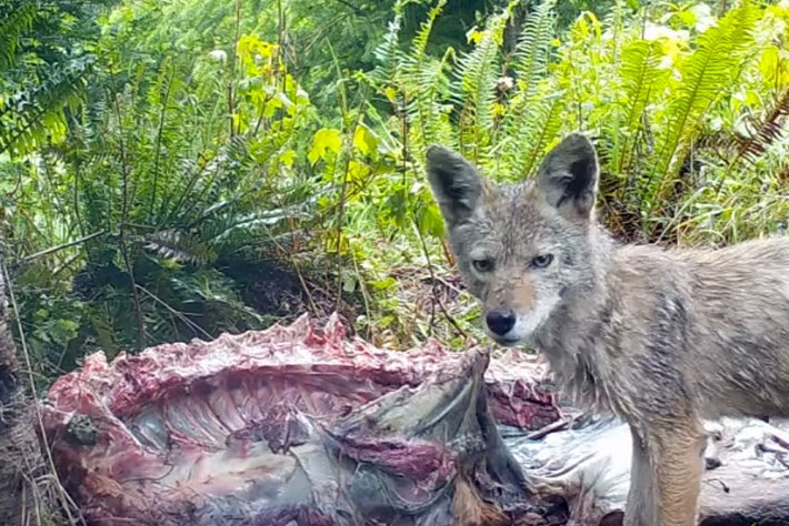 Coyote -carcass -thumb _2016_08_30