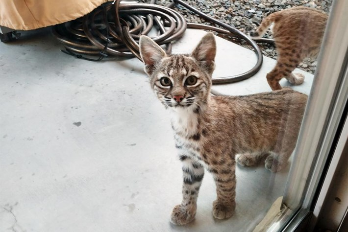 In photos: Bobcat kittens pop by for a home inspection in Arizona