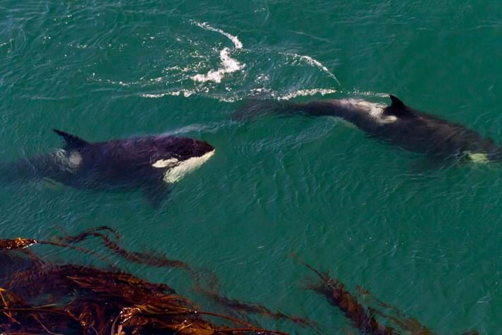 Southern Resident Orcas 2016 09 06