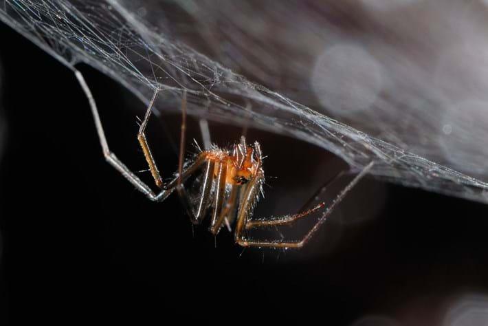 Turinyphia cavernicola 2016-09-07