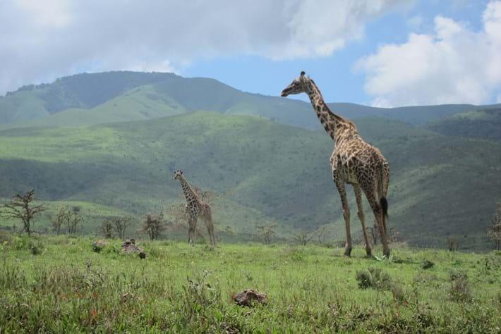 giraffe tanzania_2016_09_08